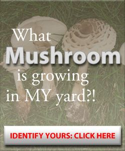 Mushroom i.d. learn about what mushroom is growing around you.