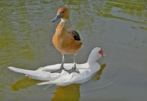 Yes... This is a good transportation method...: Like A Boss, Animals, Ducks, Funny Stuff, Humor, Things, Funny Animal, Birds