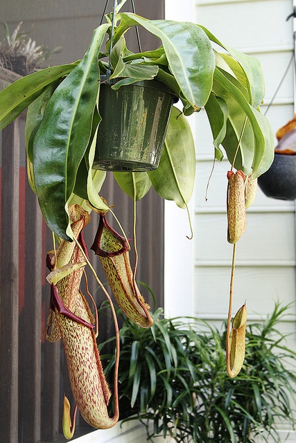 Need a gift idea for someone's third anniversary? The leathery pitchers should suffice!    Nepenthes Miranda by le papillon vert, via Flickr.
