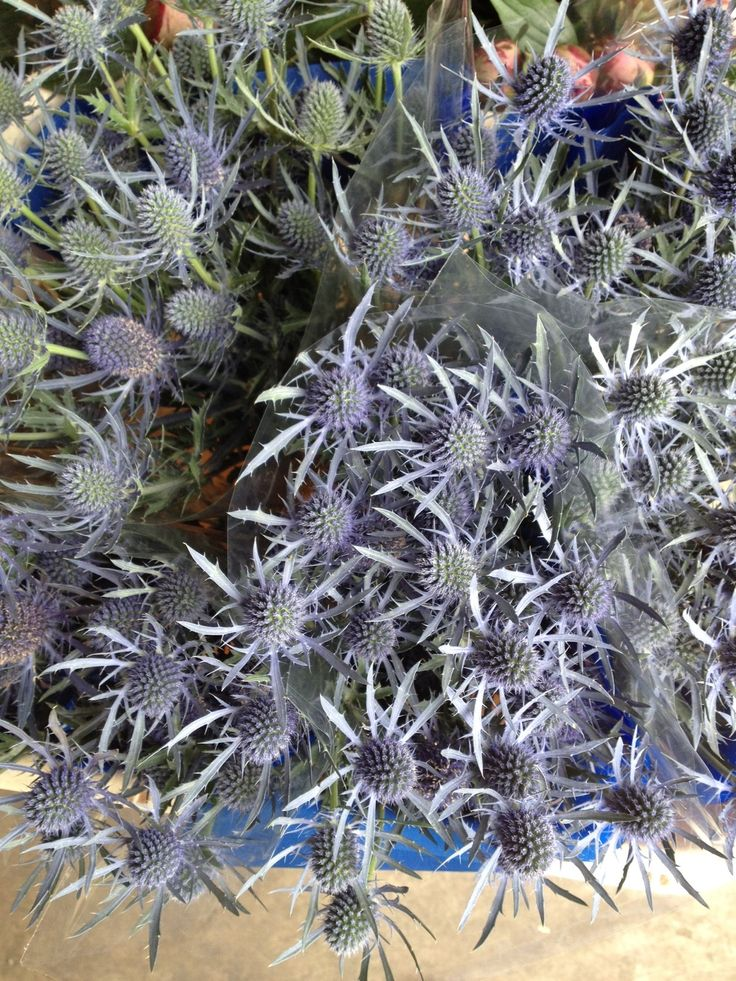 Erynguim 'Blue Dynamite' these are the small variety. Sold in bunches of 10…