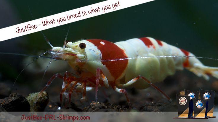 JustBee PRL RedBee Shrimps