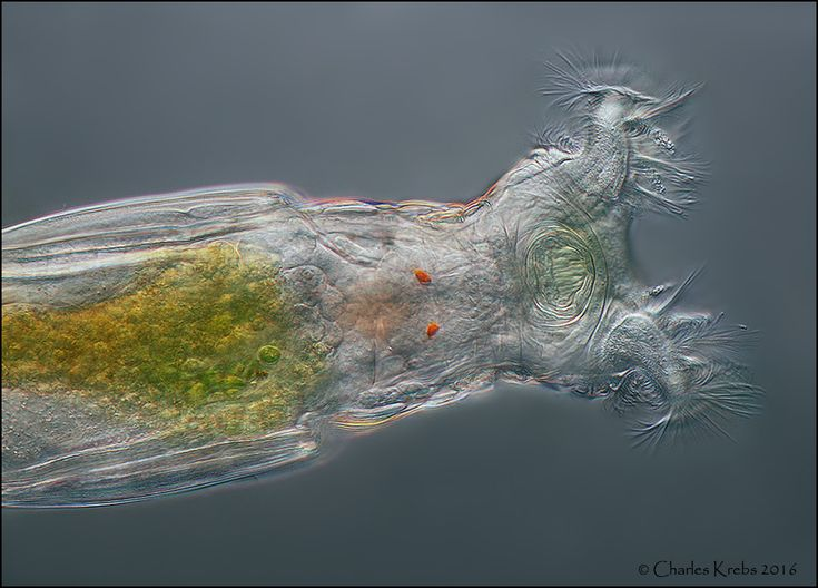 www.photomacrography.net :: View topic - Bdelloid rotifer