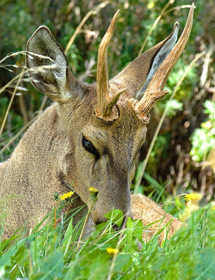 The south Andean deer, also known as the huemul, is an endangered species of deer native to the Andes.   The adorable deer is also part of Chile's National Coat of Arms and is Chile's national Animal.