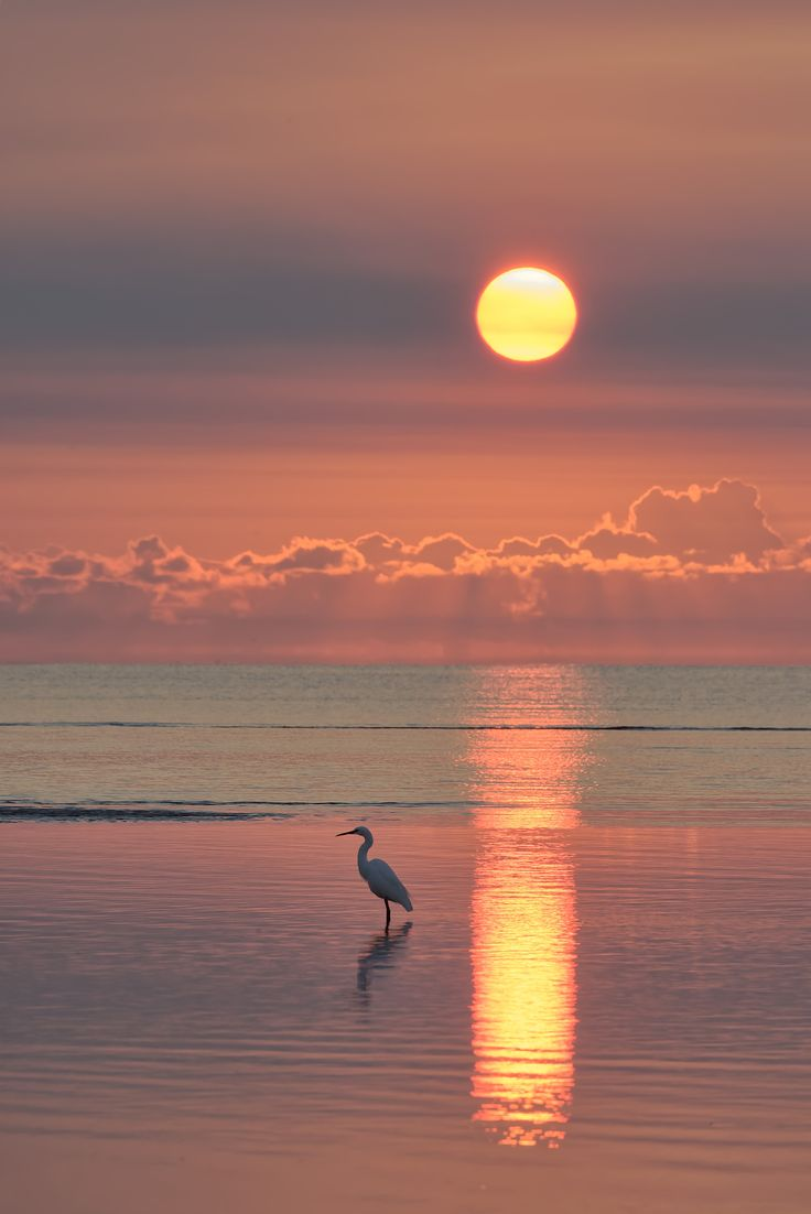 Under a Southern Sun, by Robert Charity... #sunrise #water #bird #nature #sun #clouds #pink #bay #Australia #Queensland #Egret #Heron #MoretonBay #Beachmere #MoretonTerracePark