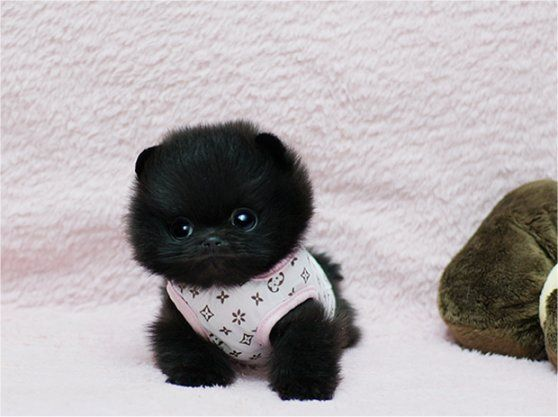 black, cuteness, fluffball, fluffy, furry, fuzzy, pom, Teacup Puppies, teddy bear, tiny