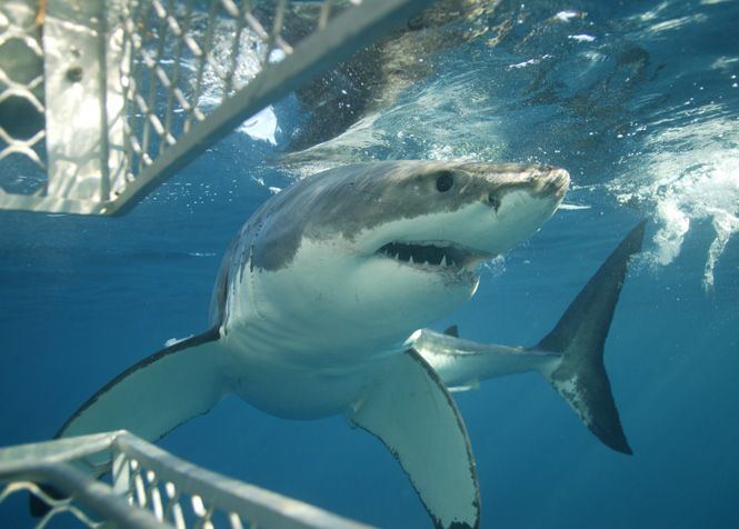 Best day of my life when i was there! May 1st 2009. Port Lincoln Shark Diving, SA
