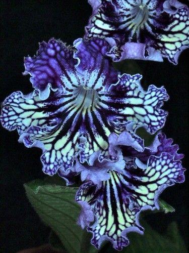 SashenKa Streptocarpus Plant in Bloom | eBay  ~  Streptocarpus 'Sashen'ka' (translation: nick-name for Alexander) was introduced in Russia by N. Pavliuk. The extensive purple veining over the yellow lower lip makes the flowers eye-catching