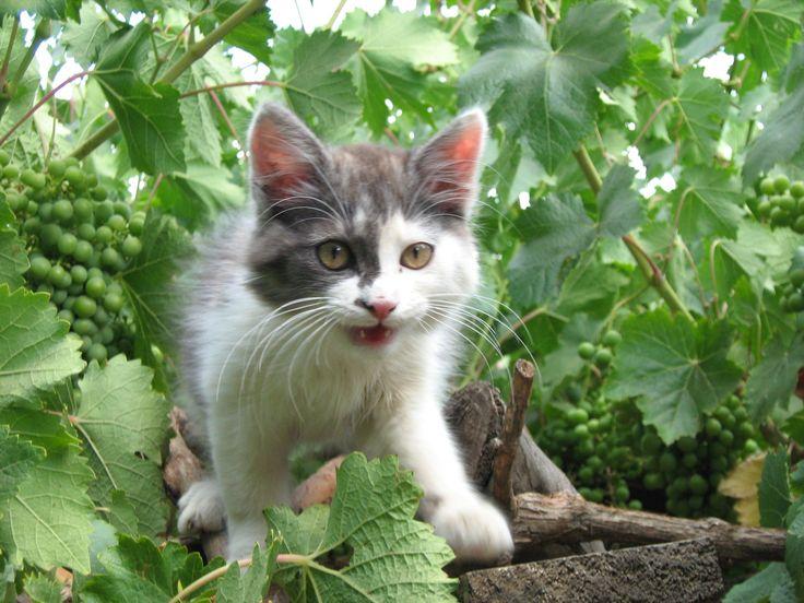 alba gatito