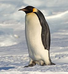 The Emperor Penguin (Aptenodytes forsteri) is the tallest and heaviest of all living penguin species and is endemic to Antarctica. The male and female are similar in plumage and size, reaching 122 cm (48 in) in height and weighing anywhere from 22 to 45 kg (49 to 99 lb). The dorsal side and head are black and sharply delineated from the white belly, pale-yellow breast and bright-yellow ear patches. Like all penguins it is flightless, with a streamlined body, and wings stiffened and flattened