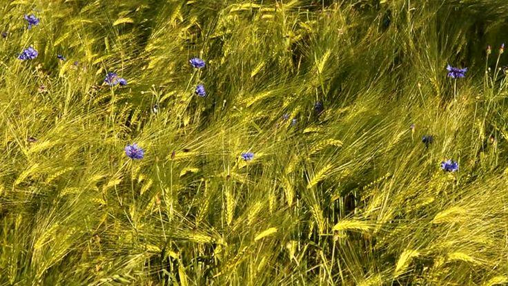 Afbeeldingsresultaat voor rudbeckia fulgida 'goldsturm'