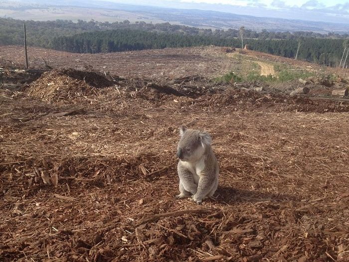 The proposed provision in the revised Renerwable Energy Targer (RET) to burn native forests for biomass power will help accelerate the current man-made extinction crisis from disaster to catastrophe... https://independentaustralia.net/environment/environment-display/australian-logging-and-the-end-of-species,7788
