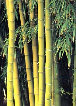 How to grow bamboo indoors  -- (Bambusa multiplex 'Alphonse Karr')