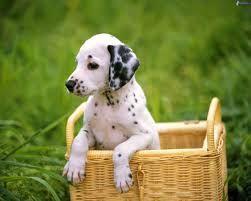 Le dalmatien est une race de chiens originaire de Croatie. Race apparentée au chien courant, le dalmatien est de taille moyenne, musclé, actif, harmonieux dans ses lignes doté d'un trot remarquable. Il est d'un caractère calme, assez têtu mais très intelligent et câlin. Sa robe a pour couleur de base le blanc pur et comporte des taches rondes et bien dessinées, pouvant être soit noires, soit foie.
