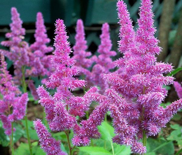 Astilbe Chinensis Var Pumila Perennials For Sale Uk Letsgoplanting Co Uk Herbaceous Perennials Astilbe Purple Flowers