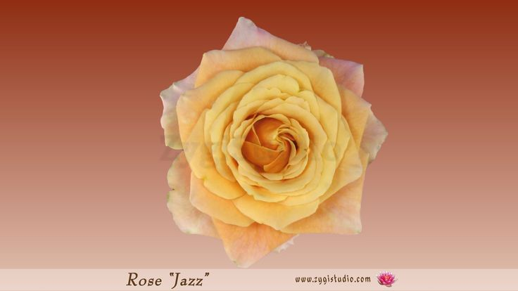 """Timelapse of Opening Orange """"Jazz"""" Rose, top view"""