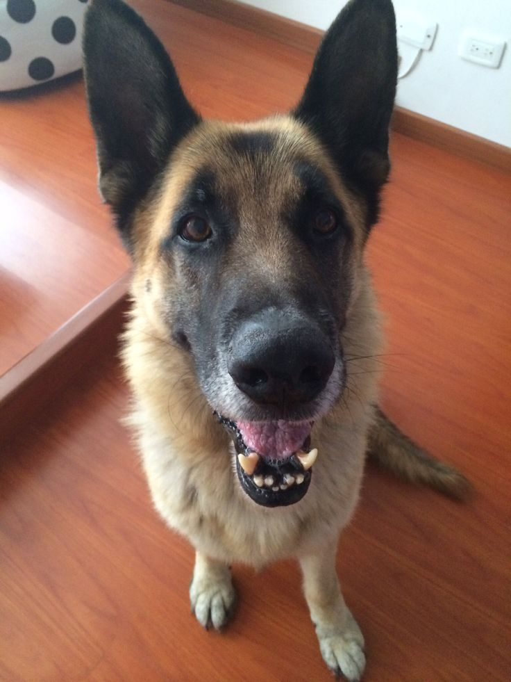 17 Best Images About Gsds Don T Mess With The Old Dogs