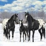 """Black Appaloosa Horses In Snow"" by csforest"