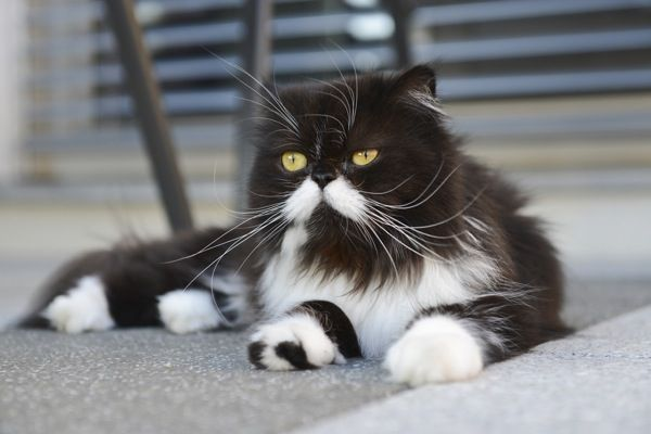 How Does a Purebred Cat Get Dumped at the Shelter? | Catster