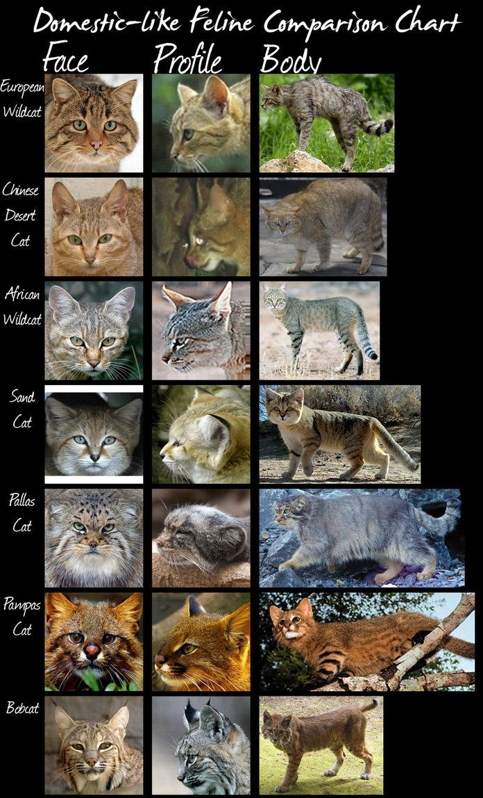 wild cat species comparison chart (Domestic-Like Cats) by *HDevers on deviantART
