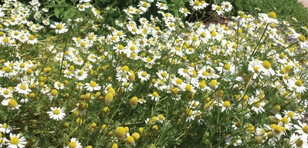 GERMAN CHAMOMILE | The Diggers Club