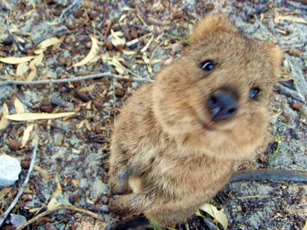 Baby quokka smiling - photo#23