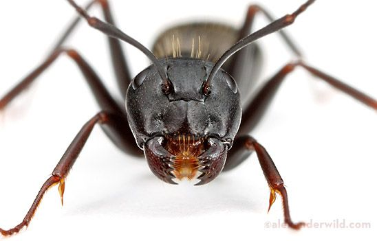 """""""The most conspicuous ant in New York City is the eastern black carpenter ant. Camponotus pennsylvanicus can be found in the street medians on Broadway, but also in all the big parks."""""""