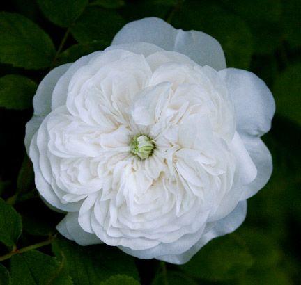 rose madame hardy flowers pinterest. Black Bedroom Furniture Sets. Home Design Ideas
