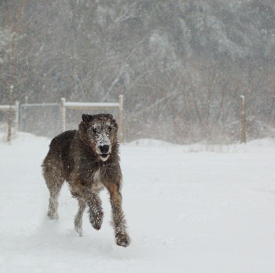 Irish Wolfhounds are so majestic when they run.