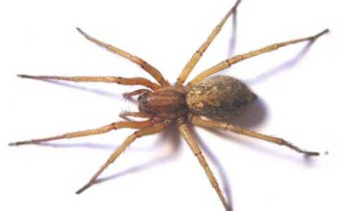 Hobo spider is very mild but very poisonous. Learn more facts,pictures,videos info about hobo spiders and how to get rid these pests
