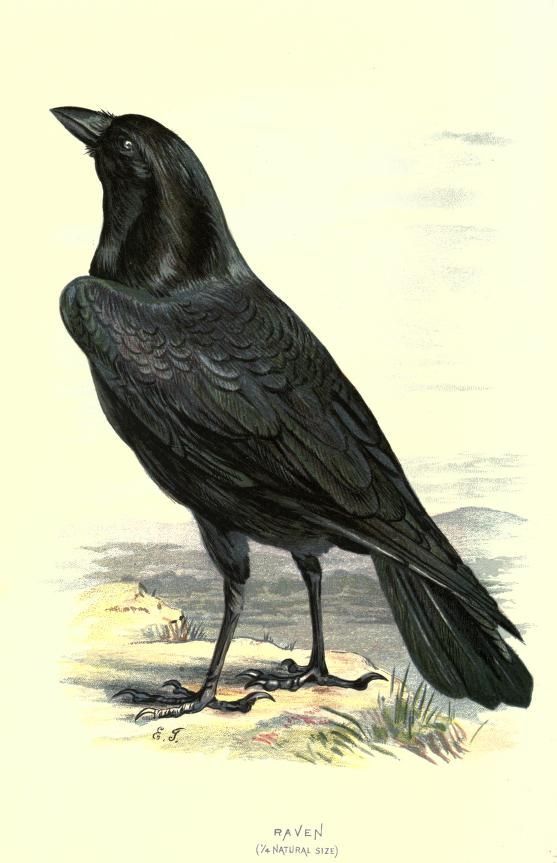 Raven. Plate from 'Familiar Wild Birds' by W. Swaysland. Published 1883 by Cassell archive.org