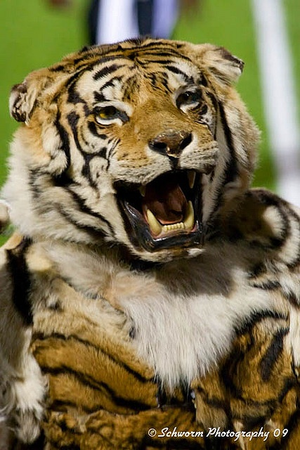 Obie  Massillon Tigers!