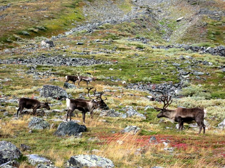 Kungsleden (King's Trail). The road between Vistas to Nallo, full with wild animals.