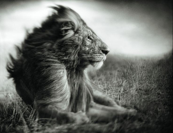 Lion before storm II - photo by Nick Brandt; A Shadow Falls series, Mas Mara 2006