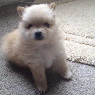 Kc Registered Pomeranian for Sale. I have a litter of kc registered pomeranian for sale only little girl left dad is champion altina silver phoenix winner at crafts mum is family pet amalia my girl puppies will be vet checked wormed and fled and come with five generation pedigree certificate. Puppies must go to good loving forever homes. Please contact me for more details on