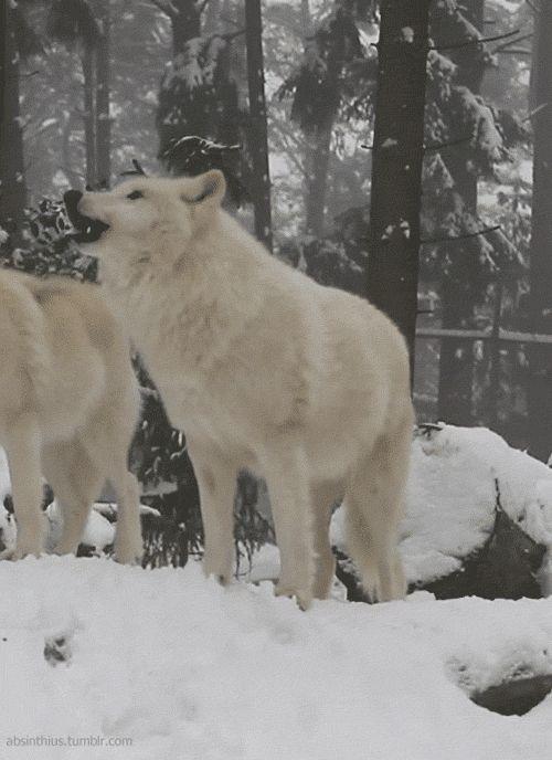 wolf gif. http://24.media.tumblr.com/b57e8f411e5fc7c7627956200dd08ef6/tumblr_mgely9Bcxu1qa9lnvo1_500.gif