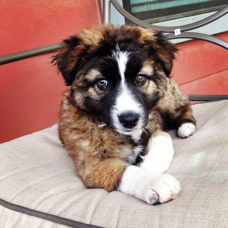 Australian & German Shepherd mix puppy