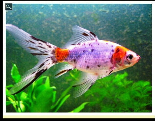 17 best images about kio goldfish comets and subunkins on for Calico koi fish