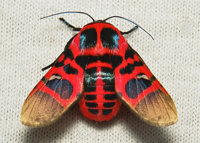 Picture-winged leaf moth (Glanycus insolitus, Thyrididae), China. The Chinese name literally translates as Red cicada window moth