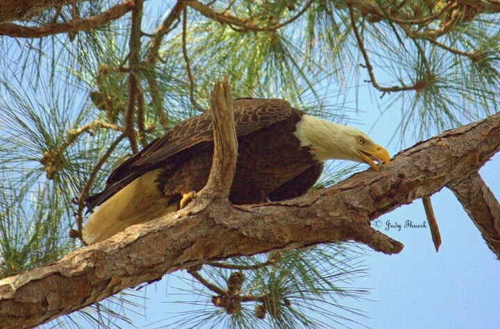 Female Bald Eagle Dunedin, FL  Babies in the nest and mom is looking for food!