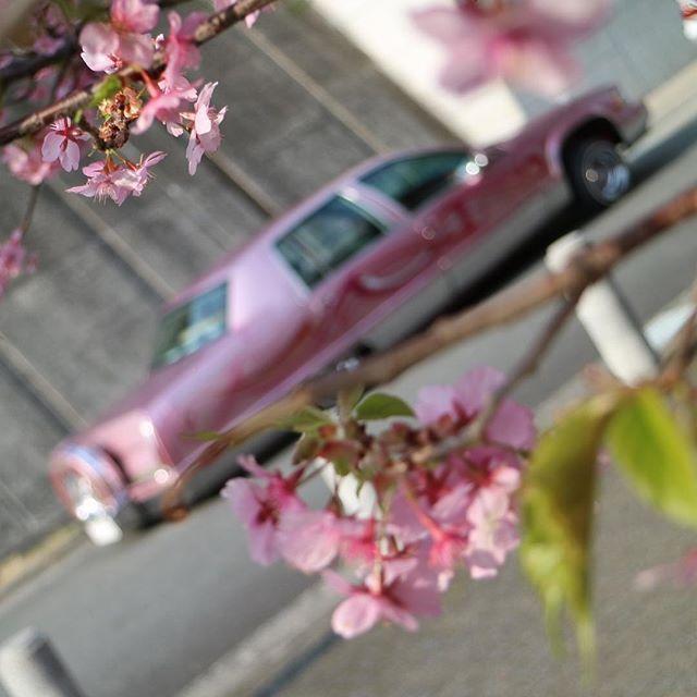 【73cady】さんのInstagramをピンしています。 《最近の春の陽気に河津桜が咲き始めてると言うことで先取りpost🌸  #ヤシの木 もいいけど、この車は #桜 の方が似合うと自負してる🙈  走りたいけど自賠責今日で切れた件😩  #cherryblossom  #cherryblossoms  #spring  #kawazuzakura  #sakura #lowrider #cadillac #fleetwood  #pink #pinkflowers  #pinkflower  #flower  #春 #河津桜  カメラ買って1年経つから、今ならもっとセンスのいい写真が撮れる気がする🤔  2017 2.1》
