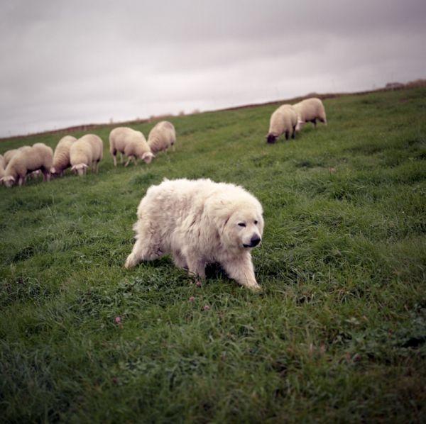 Wake to Songbirds Wake to Crows / i love this photo from Jonathan Levitt. looks like a polar bear wandering the hillside.