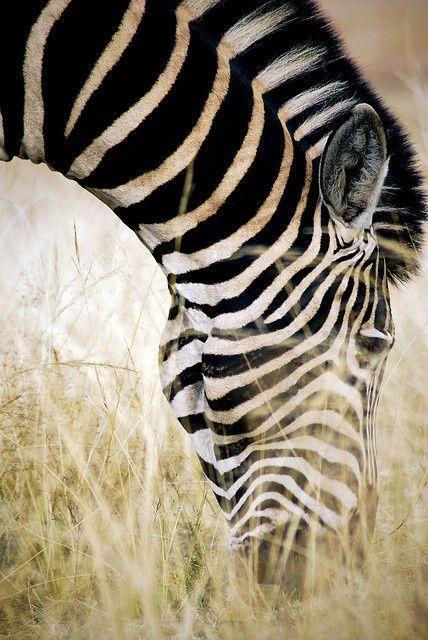 Africa | Zebra.  Kruger National Park