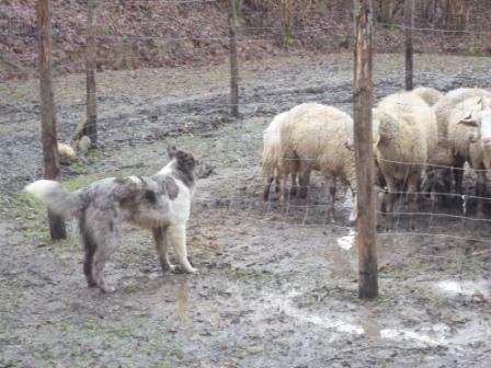 Un esemplare di Pastore Apuano al lavoro nonostante il gregge sia già custodito nel recinto