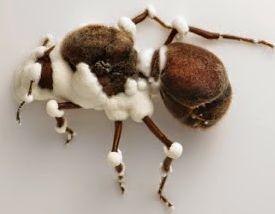 Alergia por causa de um fungo em pregos