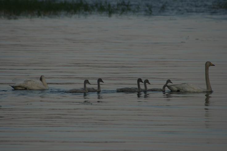 Tämä kesän ihana näky. Sama joutsenpari ollut joka kesä järvellä meidän nurkilla. Kiva aina arvuutella montako poikasta minäkin kesänä tulee. Tämä vuodelta 2009