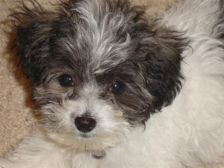This Is Oreo My Bolonoodle Cute Pictures Pinterest