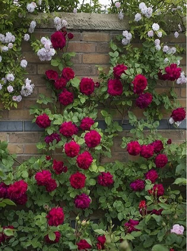 Climbing Roses On House Ideas Gardening Decor Pinterest