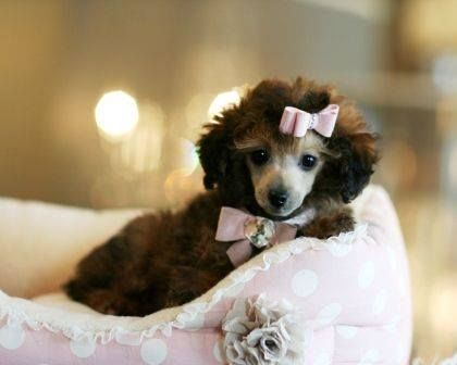 A dose of cute Mahogany Teacup Poodle Puppy