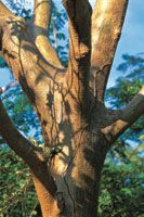 Tronco de un guayacán o roble morado, Tabebuia sp.