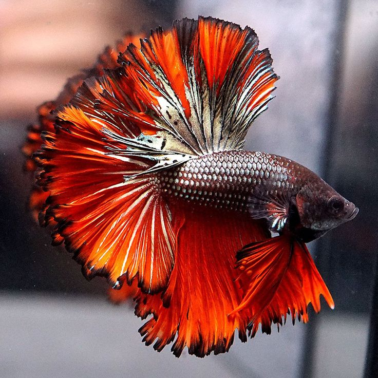 Live Betta Fish Male GOLDEN COPPER RED Full Banding SUPER Rosetail Halfmoon #010
